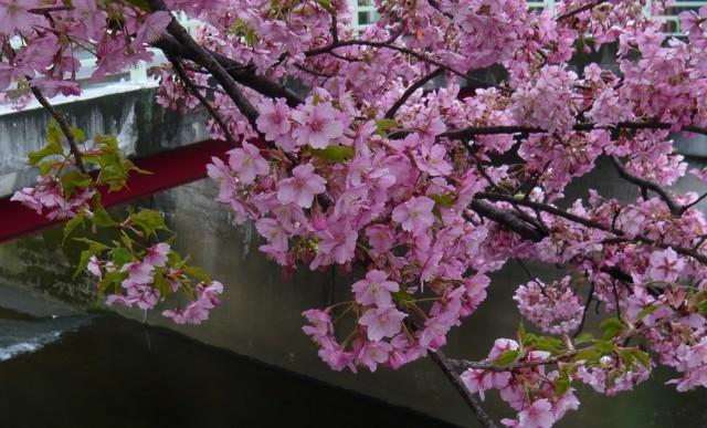 石神井川の河津桜