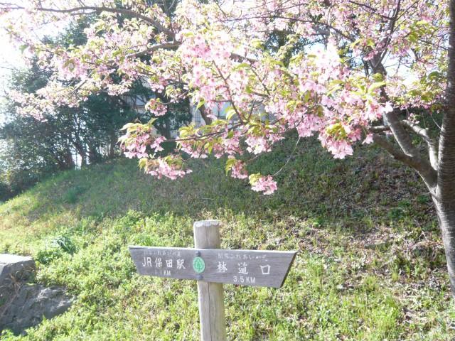 すでに葉桜