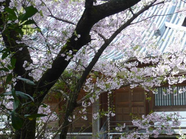 恩山寺 本堂 桜がいいね