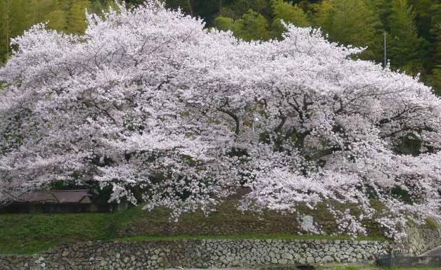 お京塚の近くの桜