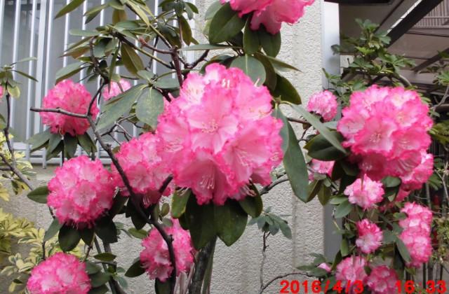 シャクナゲも咲いていた